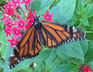Monarch Butterfly, Naples, Florida