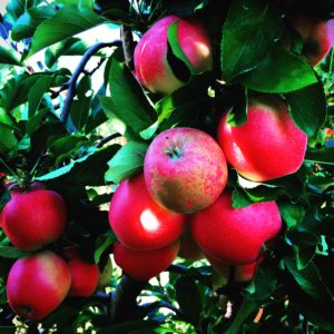 Apples at Russell Orchards