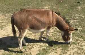 Donkey at Russell Orchards