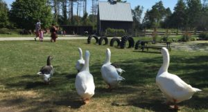 Geese at Russell Orchards