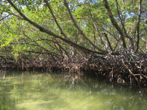 Mangroves, Dominican Republic