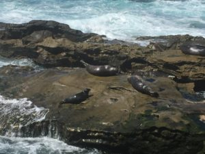 Seals, La Jolla Cove