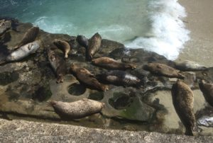 Seals, La Jolla Cove, Cali