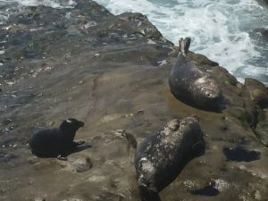 Seals, La Jolla Cove, California