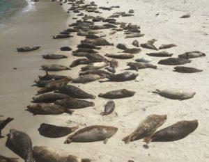 Seals, La Jolla Cove, San Diego
