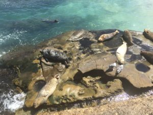 Seals at La Jolla Cove, Cali