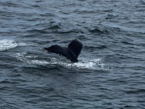 Whale Watching, Cape Cod