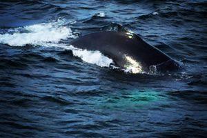 Wild Whales, Hyannis, Cape Cod