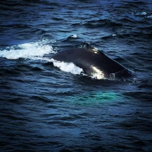 Whale Watching, Hyannis Whale Watcher Cruises