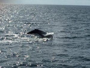 Whales, Cape Cod