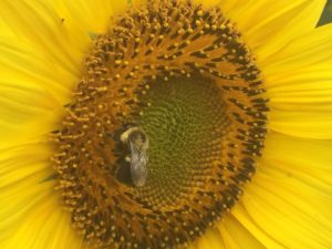 Bee on Sunflower, Colby Farm