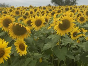 Sunflower Field, Colby Farm