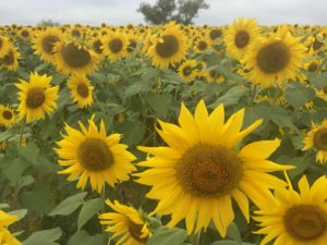 Sunflowers, Colby Farm