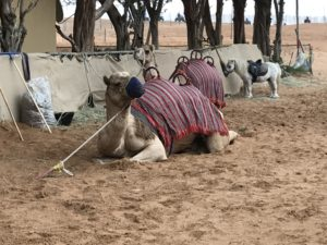 Camels, UAE